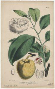 Page d'un ouvrage de botanique