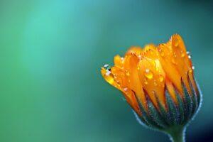 Phot en gros plan d'une fleur orange